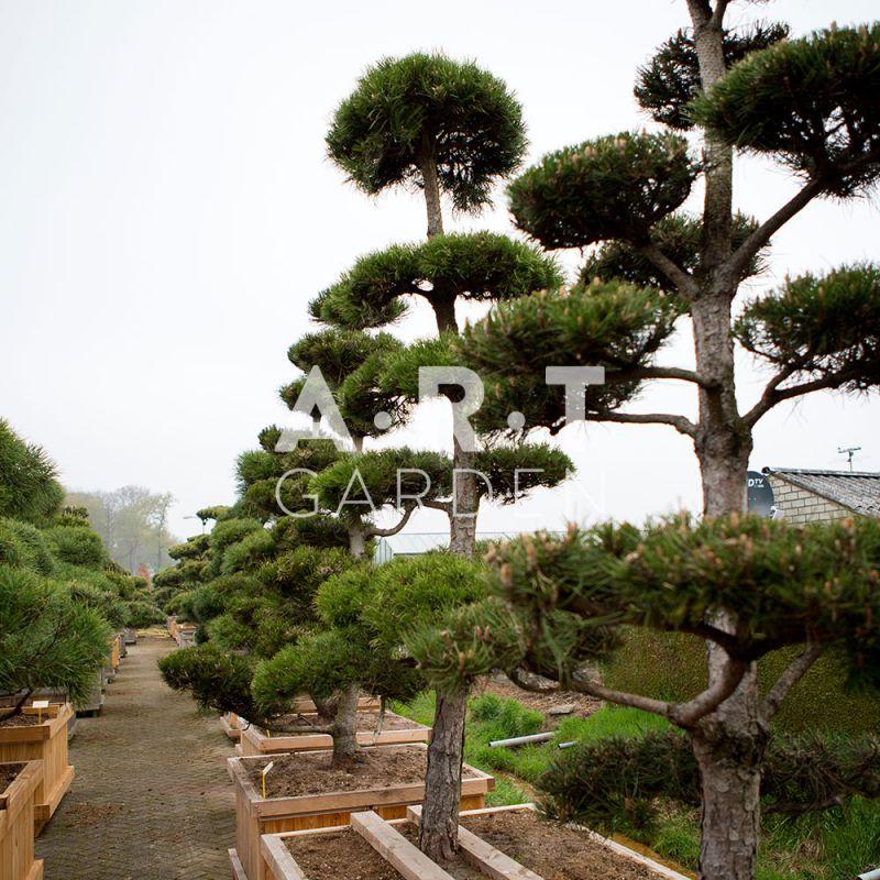 Arbres nuage japonais pour jardin r sistant bonsai geant pinus nigra Jardin japonais bonsai
