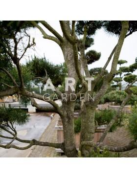 Jardinerie en ligne : Arbres Nuages à Prix grossiste ! - Art Garden
