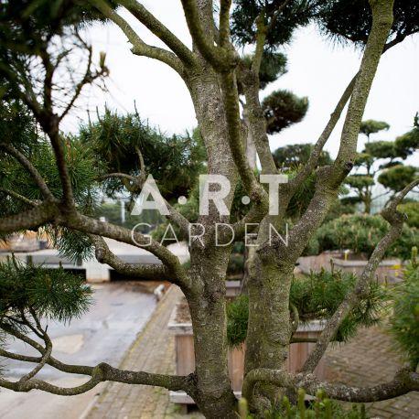 Arbre Nuage japonais - Bonsai Geant Pinus Contorta