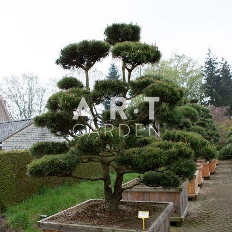 Arbre nuage pour extérieur bonsaï nain Pinus mugo Mughus