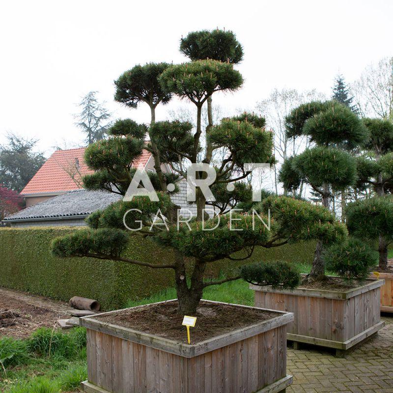 Arbre nuage pour ext rieur bonsa nain pinus mugo mughus for Arbre decoratif exterieur