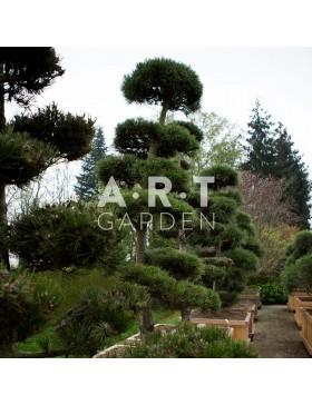 Arbres Nuage japonais - Bonsai Geant Pinus leucodermis