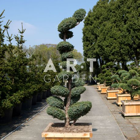 arbres nuages juniperus blue alps. Black Bedroom Furniture Sets. Home Design Ideas
