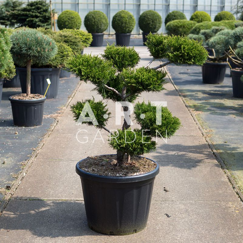 Arbre nuage haut de gamme pour votre jardin zen Jardin japonais bonsai