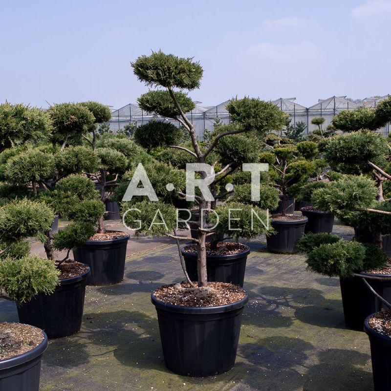 bonsai geant pour jardin et terrasse zen juniperus virg glauca. Black Bedroom Furniture Sets. Home Design Ideas