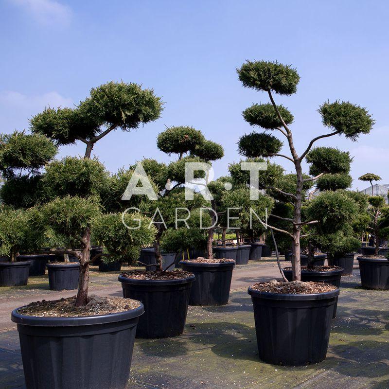 Bonsai geant pour jardin et terrasse zen juniperus virg glauca Jardin japonais bonsai