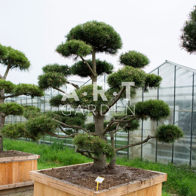 arbre nuage bonsai g ant pour jardin original r sistant pinus mugo gno. Black Bedroom Furniture Sets. Home Design Ideas