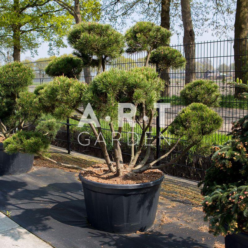 Pinus mugo mughus arbuste original pour terrasse et jardin - Arbres nains pour terrasses ...