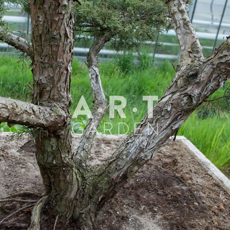 acheter arbres nuages juniperus media hetza prix grossistes. Black Bedroom Furniture Sets. Home Design Ideas