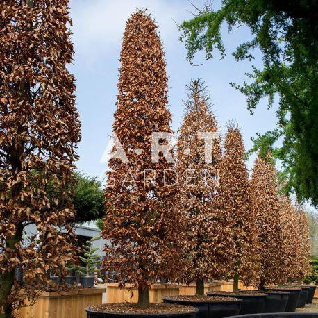 Arbre Nuage japonais - Bonsai Geant Fagus Sylvatica Purpurea
