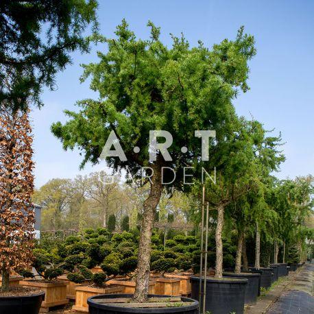 Arbre Nuage japonais - Bonsai Geant Larix Kaempferi