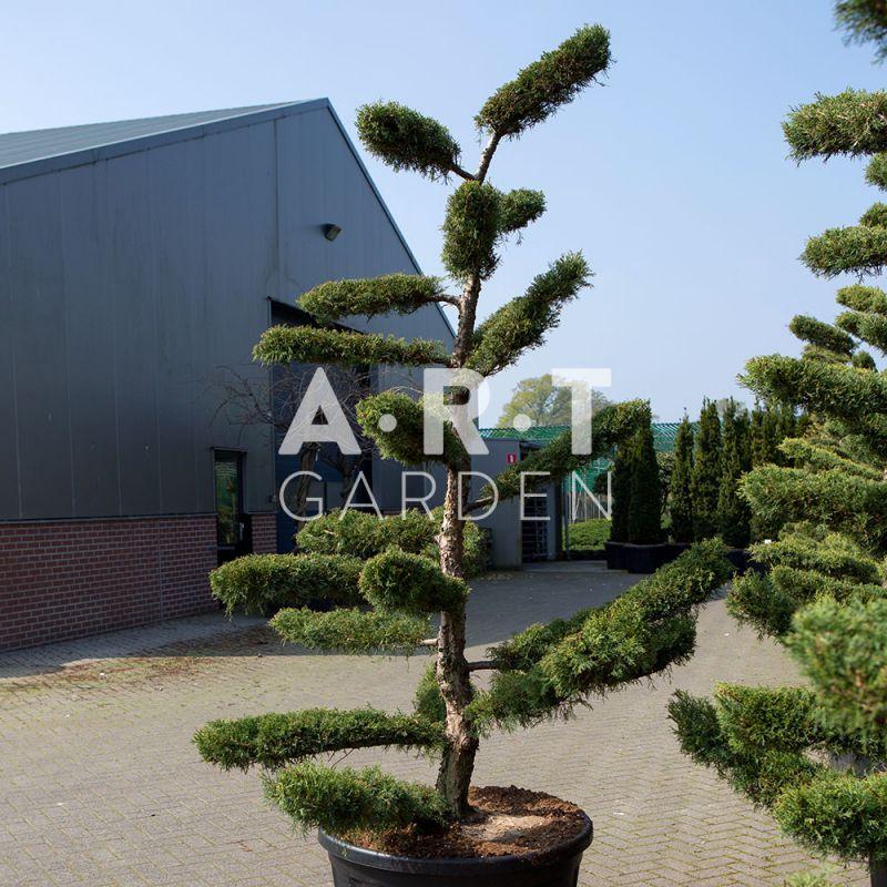 Juniperus media hetzii arbres nuage pour jardin ou terrasse for Arbre bonsai exterieur