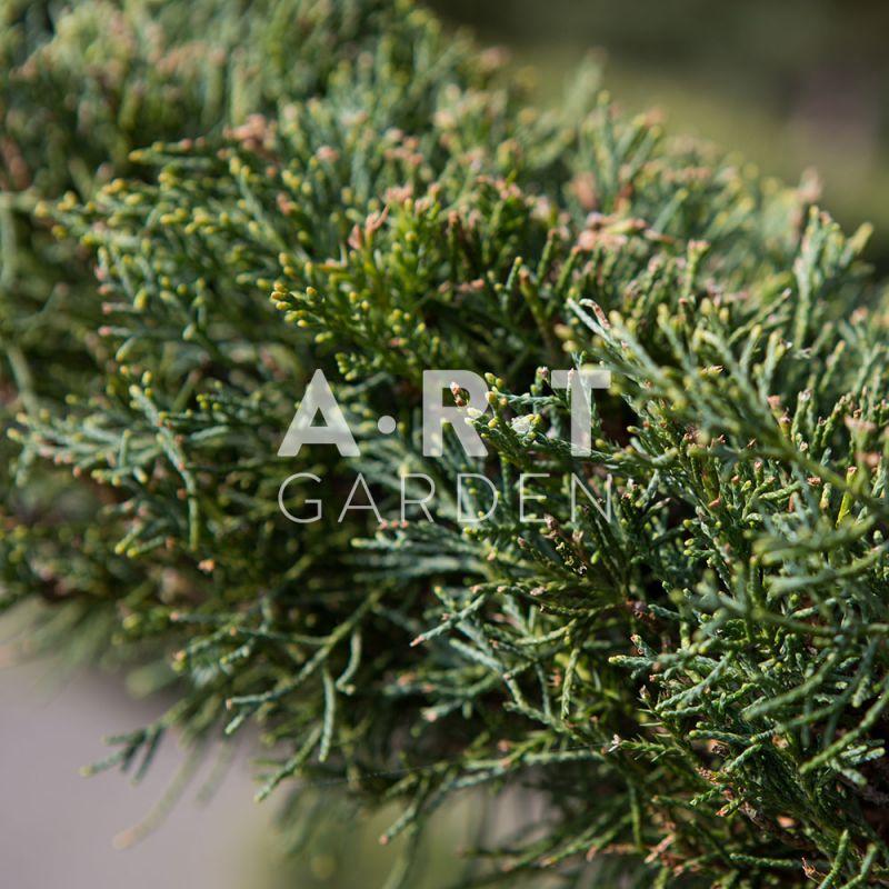 juniperus media hetzii arbres nuage pour jardin ou terrasse. Black Bedroom Furniture Sets. Home Design Ideas