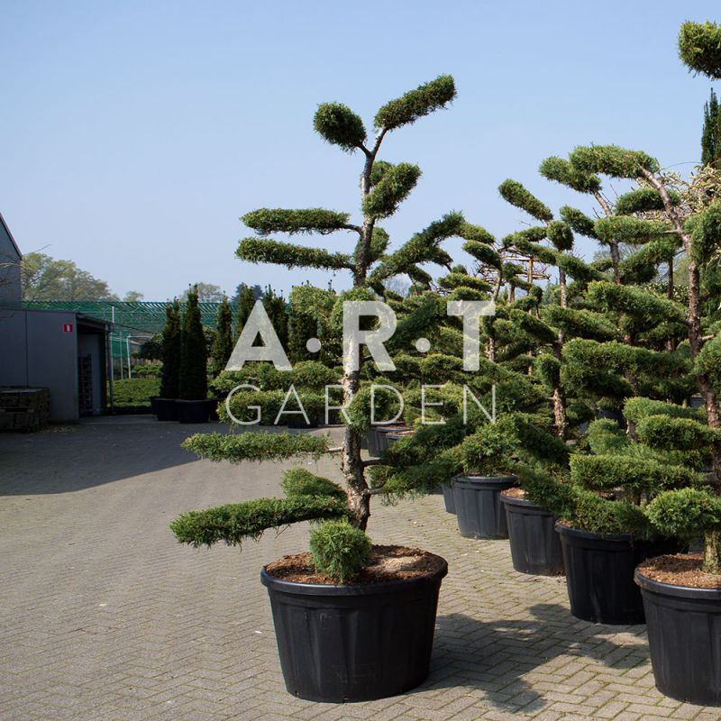 juniperus media hetzii arbres nuage pour jardin ou terrasse. Black Bedroom Furniture Sets. Home Design Ideas