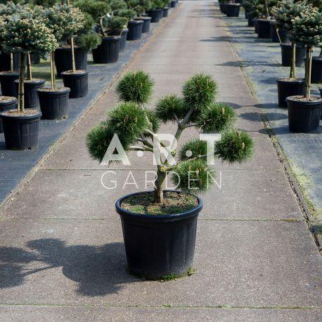 Arbre Nuage japonais - Bonsai Geant Pinus nigra Brepo