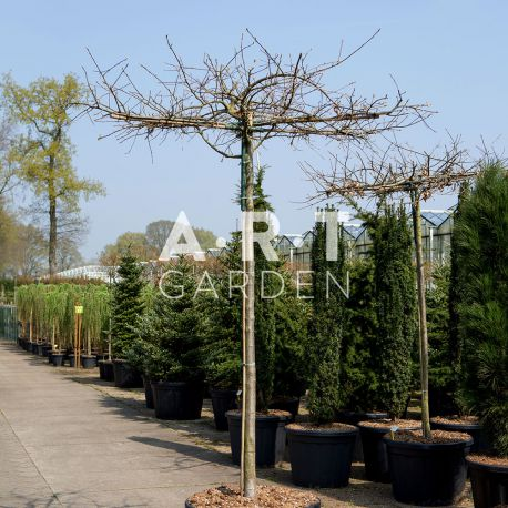 Arbre Nuage japonais - Quercus Palustrus