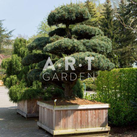 Arbre Nuage japonais - Pinus Parviflora Pent Glauca
