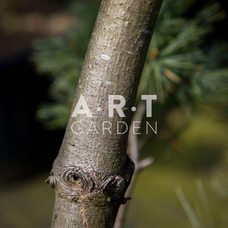 pinus strobus krugers liliput arbuste original pour jardin. Black Bedroom Furniture Sets. Home Design Ideas