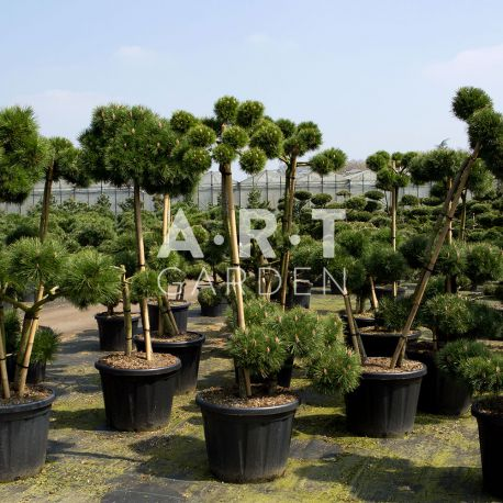 pinus nigra brepo arbuste original pour terrasse et jardin. Black Bedroom Furniture Sets. Home Design Ideas