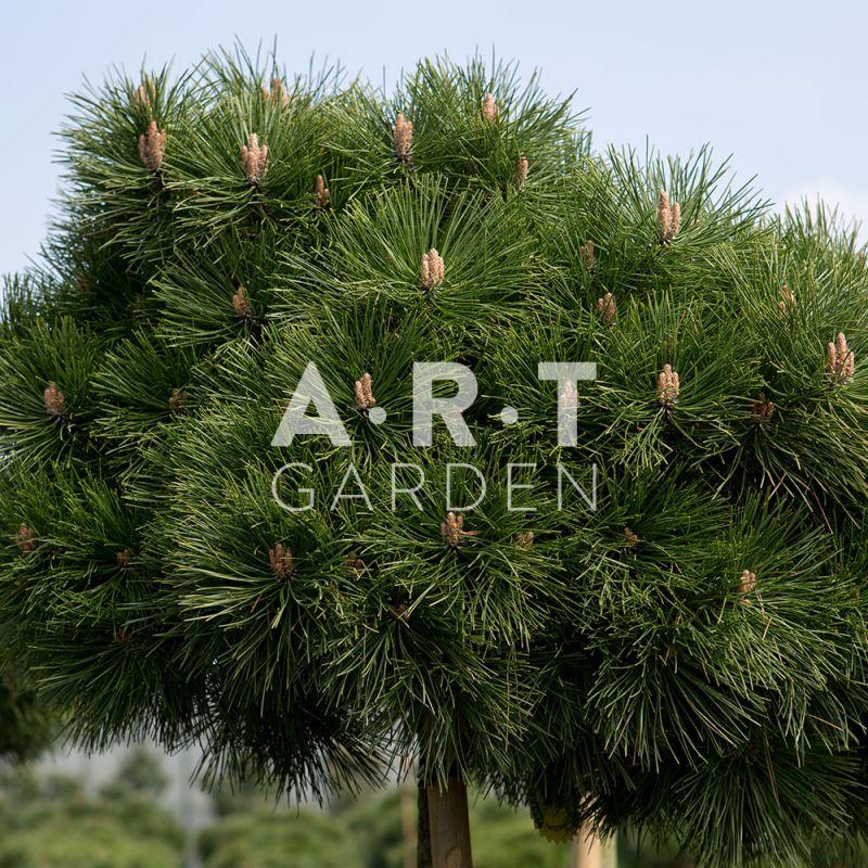 pinus nigra brepo arbuste original pour terrasse et jardin. Black Bedroom Furniture Sets. Home Design Ideas