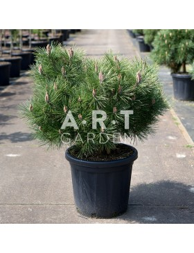 Arbre Nuage - Pinus nigra Brepo