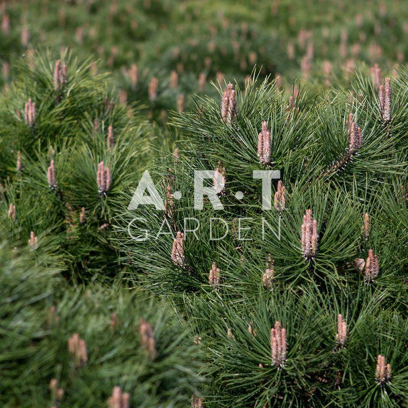 Arbre nain boule r sistant pour terrasse et jardin pinus - Arbres nains pour terrasses ...