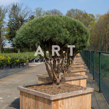 Arbre parasol Pinus sylvestris Watereri