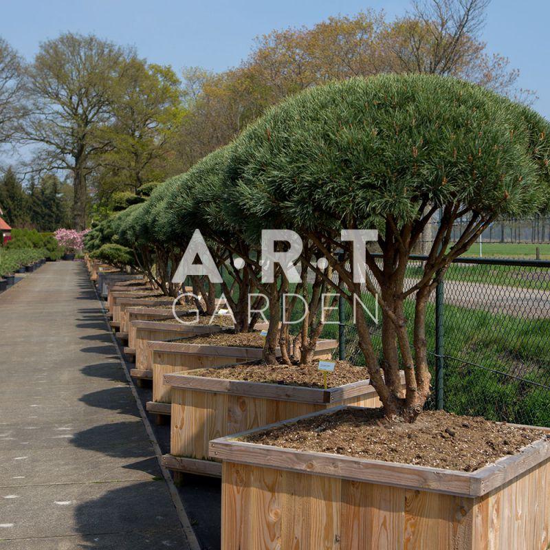 Pinus sylvestris watereri arbuste original pour terrasse for Arbre artificiel pour terrasse