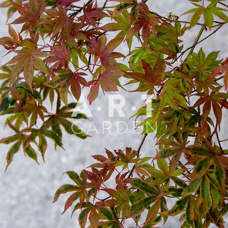 Erable d exception acer palmatum shirazz terrasse et jardin - Erable du japon acer palmatum ...
