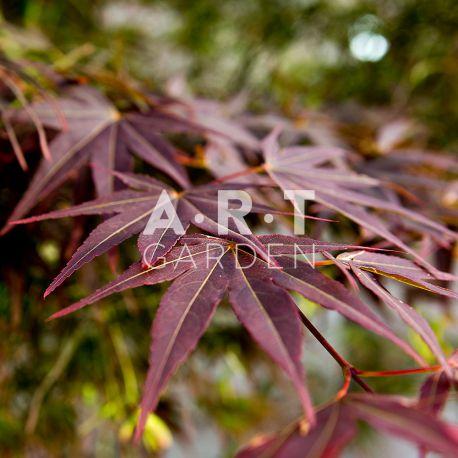 Erable original acer palmatum red pygmy pour jardin et terrasse - Erable du japon acer palmatum ...