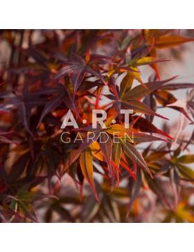 Erable du japon Acer palmatum Nuresagi