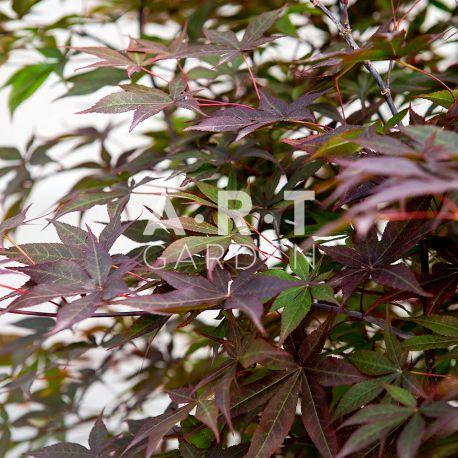 Erable du japon Acer palmatum 'Yubae'