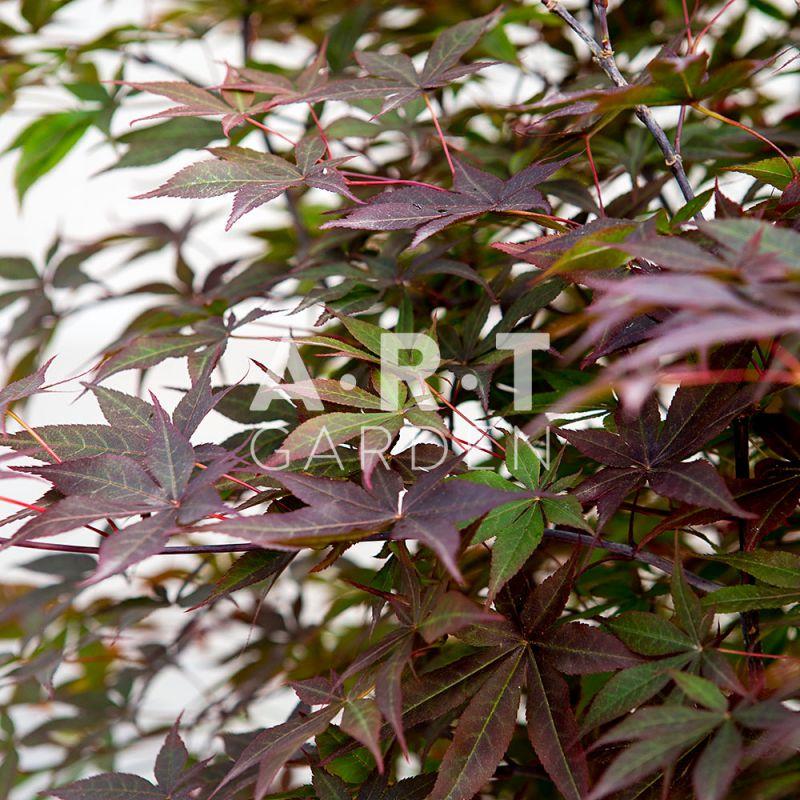 erable du japon pour terrasse japonaise acer palmatum yubae. Black Bedroom Furniture Sets. Home Design Ideas