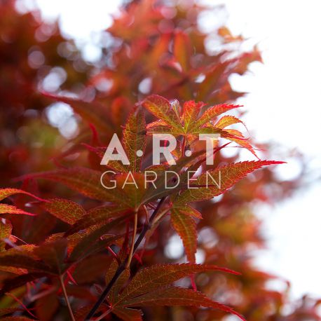 Erable du japon Acer palmatum 'Skeeter's Broom'