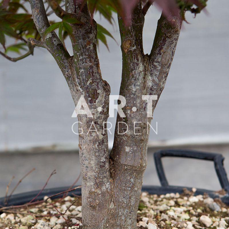 Acer palmatum bloodgood erable d exception pour exterieur - Erable du japon bloodgood ...