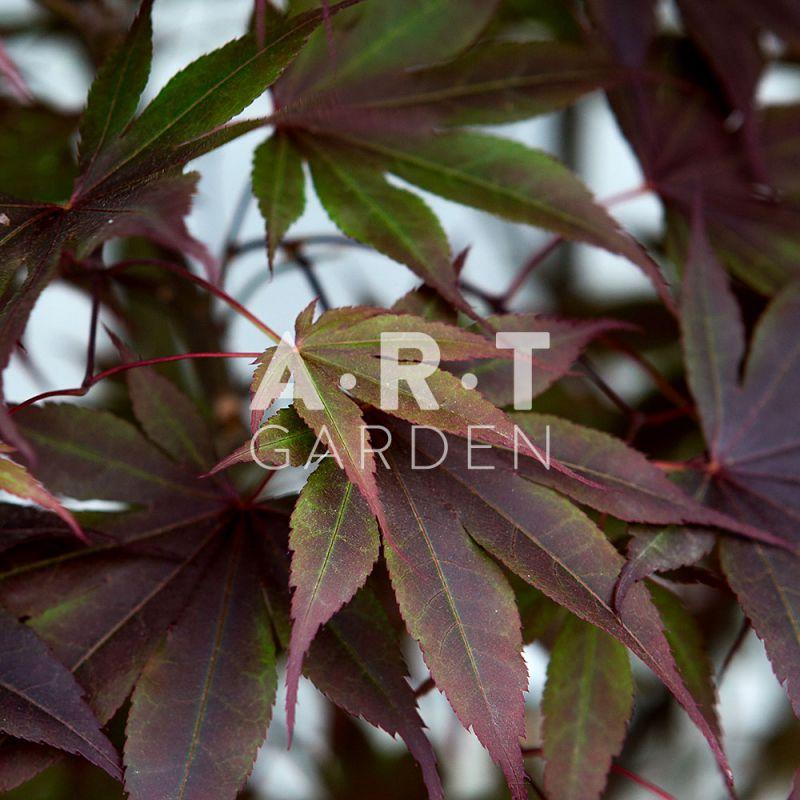 Acer palmatum bloodgood erable d exception pour exterieur - Erable du japon acer palmatum ...