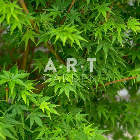 Decorer planter colorez jardin et terrasse acer palmatum corallinum - Erable du japon acer palmatum ...