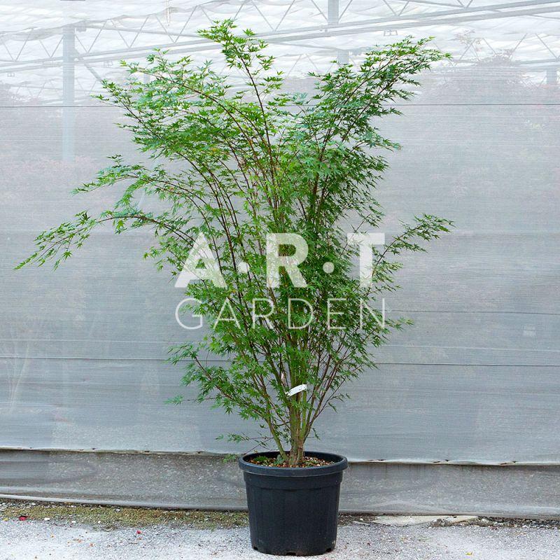 acer palmatum arakawa erable japonais pour jardin et terrasse. Black Bedroom Furniture Sets. Home Design Ideas