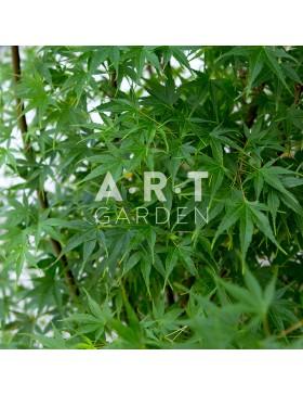 Erable du japon Acer palmatum 'Arakawa'