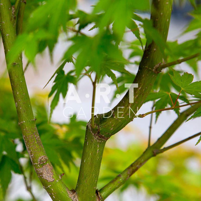 Plantez un erable du japon art garden acer palmatum momoiro koya san - Erable du japon acer palmatum ...