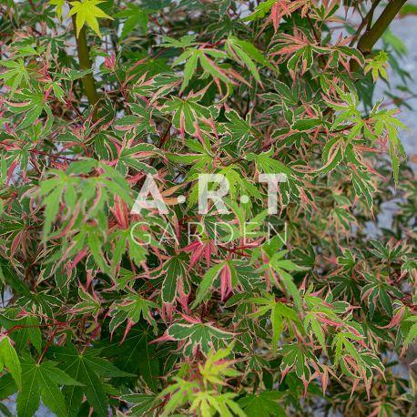 Erable du japon Acer palmatum Beni Schichi-henge