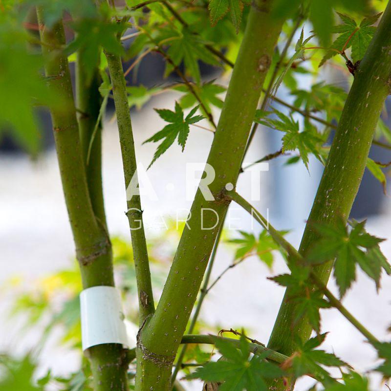 acheter erable nain du japon decoratif jardin acer palmatum wendy. Black Bedroom Furniture Sets. Home Design Ideas