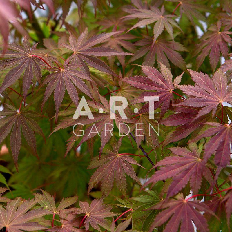 Joli erable du japon acer palmatum ariadne pour terrasse - Erable du japon acer palmatum ...