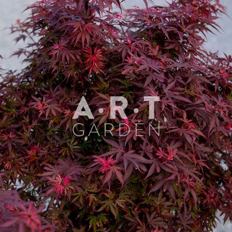 Erable du japon Acer palmatum 'Shaina'