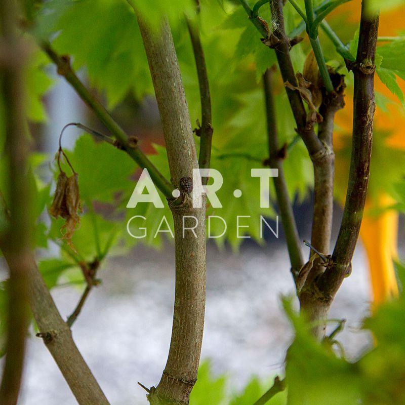 Acheter erable du japon acer palmatum aureum - Erable du japon acer palmatum ...