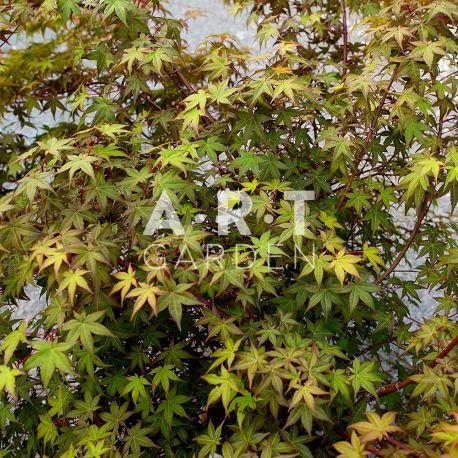 Arbuste du japon acer palmatum beni maiko resistant et - Erable du japon acer palmatum ...