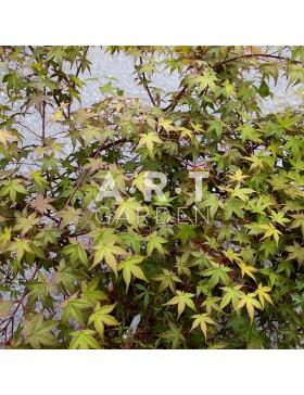 Erable du japon Acer palmatum 'Beni-komachi'