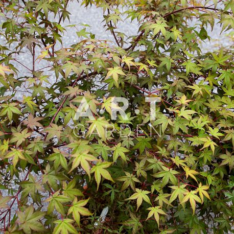 Acer palmatum beni komachi feuillage resistant en hiver et ete - Erable du japon acer palmatum ...