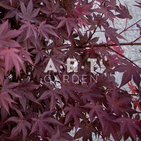 Erable du japon Acer palmatum 'Atropurpureum'