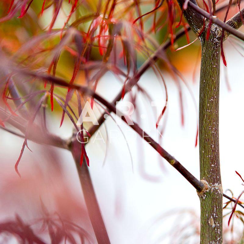 Installer une terrasse japonaise avec l acer palmatum atrolineare - Erable du japon acer palmatum ...